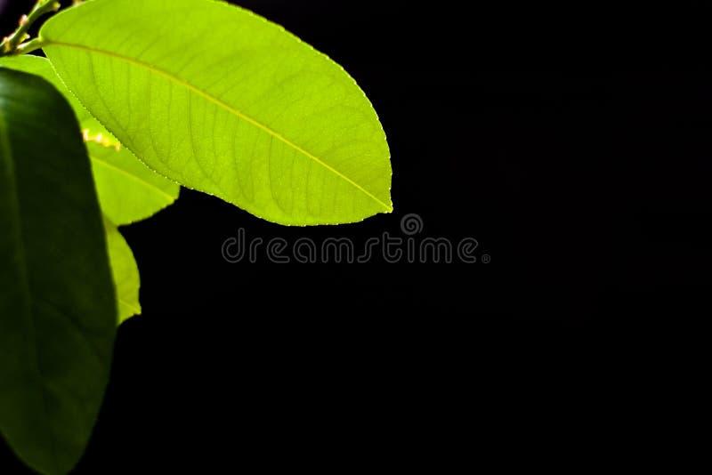 Grünes Blatt der Zitrone auf einem schwarzen Hintergrundhintergrund lizenzfreie stockbilder