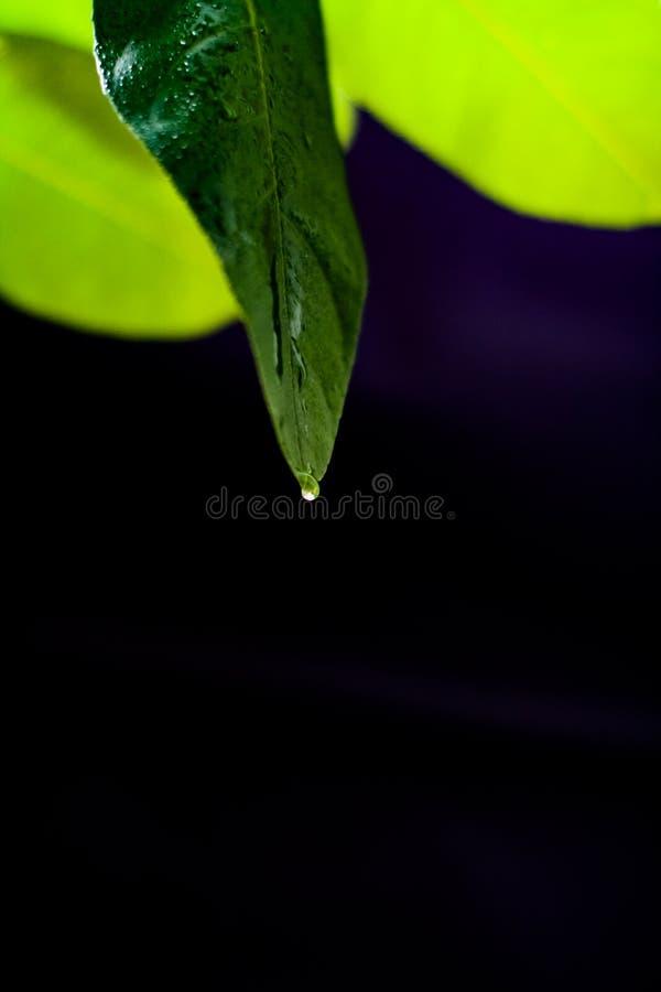 Grünes Blatt der Zitrone auf einem schwarzen Hintergrundhintergrund stockbild