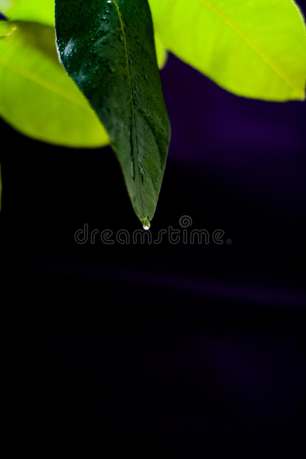 Grünes Blatt der Zitrone auf einem schwarzen Hintergrundhintergrund lizenzfreies stockfoto