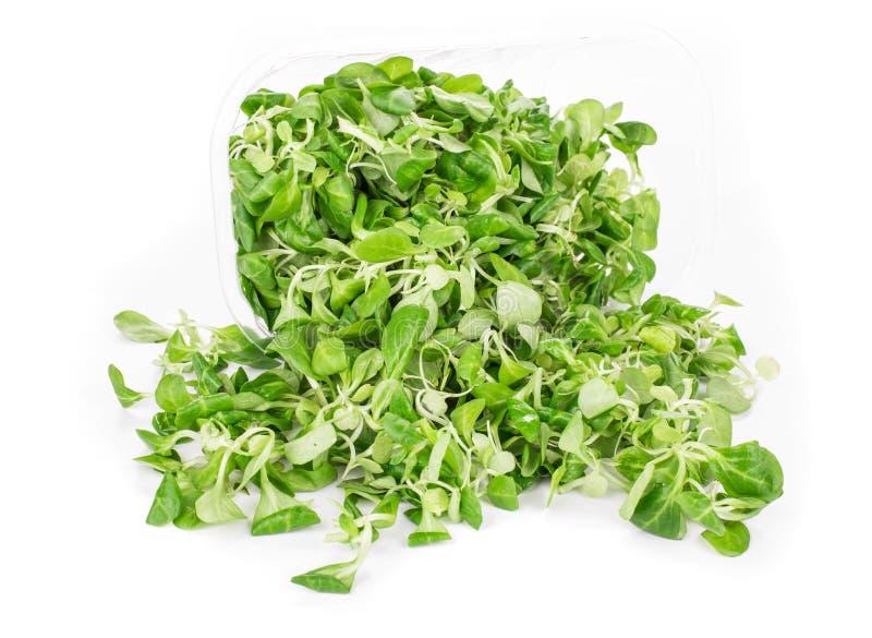 Grünes Blatt des Kopfsalates stockfoto