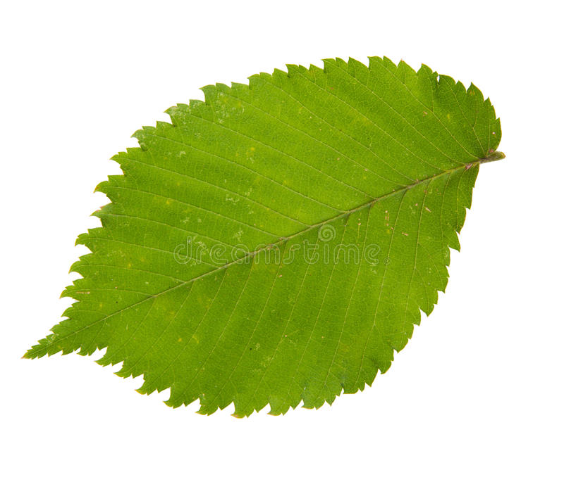 Grünes Blatt des Ulmenbaums lokalisiert auf weißem backgro stockbilder