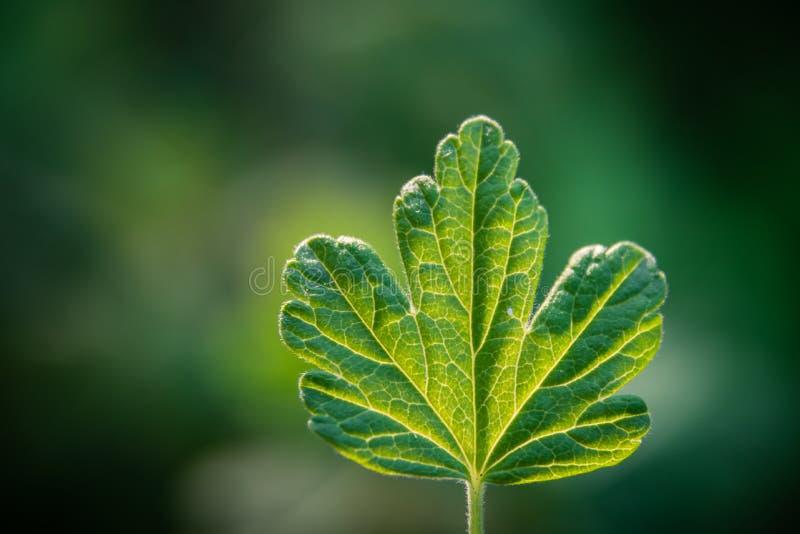 Grünes Blatt einer Stachelbeere auf einem undeutlichen Hintergrund lizenzfreie stockfotos