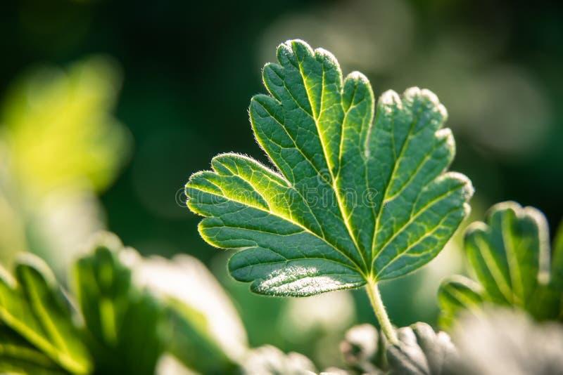 Grünes Blatt einer Stachelbeere auf einem undeutlichen Hintergrund lizenzfreie stockbilder