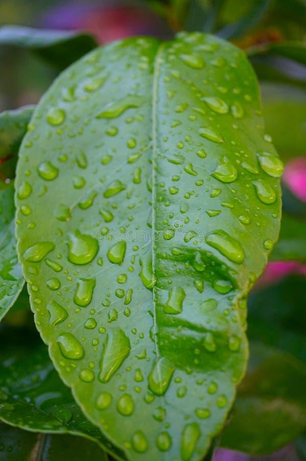 Grünes Blatt eines Zitronenbaums mit Wassertropfen, Makro, Naturhintergrund lizenzfreie stockfotografie
