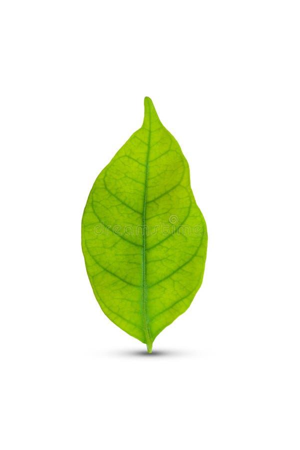 Grünes Blatt getrennt stockbild