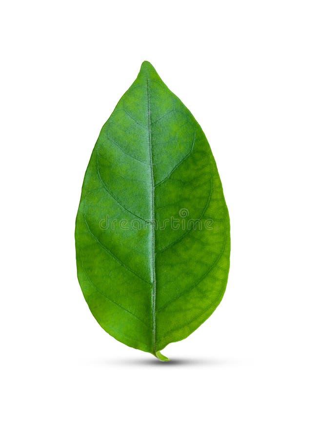 Grünes Blatt getrennt stockfotos