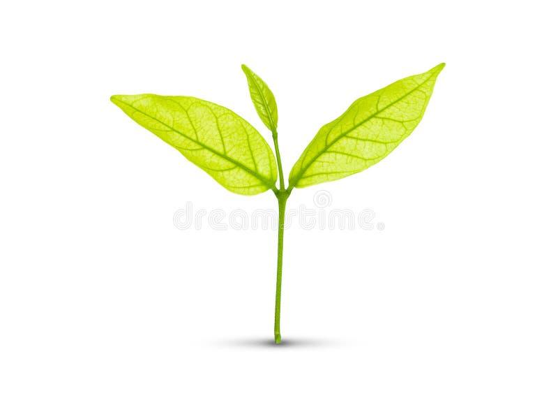 Grünes Blatt getrennt lizenzfreies stockbild
