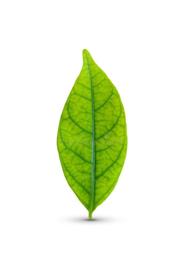 Grünes Blatt getrennt lizenzfreie stockfotografie