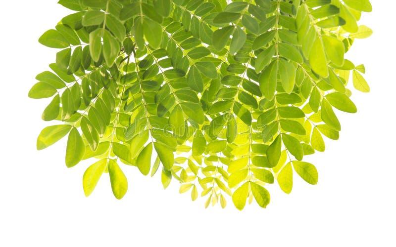 Grünes Blatt getrennt auf weißem Hintergrund stockbilder