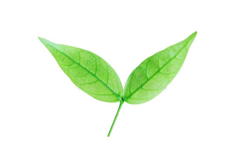 Grünes Blatt lokalisiert auf einem weißen Hintergrund mit Beschneidungspfad WA stock abbildung