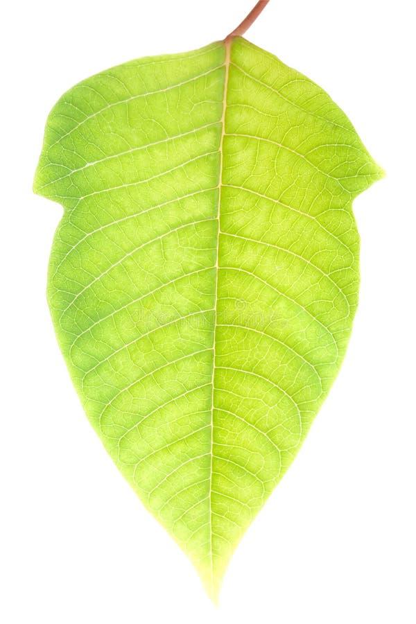 Grünes Blatt mit Ausschnittspfad lizenzfreie stockfotografie