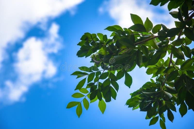 Grünes Blatt mit Himmel auf hellem Sonnenschein Baum des Waldesblatt Grüne hölzerne Sonnenlichthintergründe der Natur lizenzfreies stockbild