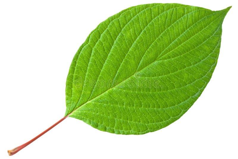 Grünes Blatt mit rotem Stamm stockfotos