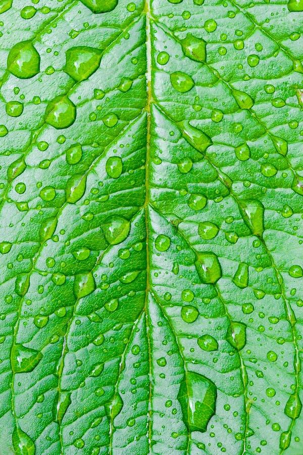Grünes Blatt mit Tautropfen stockbild