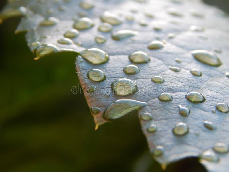 Grünes Blatt mit Tropfen des Wassers stockfoto