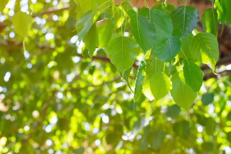 Grünes Blatt Pho-Blatt, BO-Blatt, bothi Blatt mit Sonnenlicht in der Natur BO-Baum, der Buddhismus in Thailand darstellt stockfoto