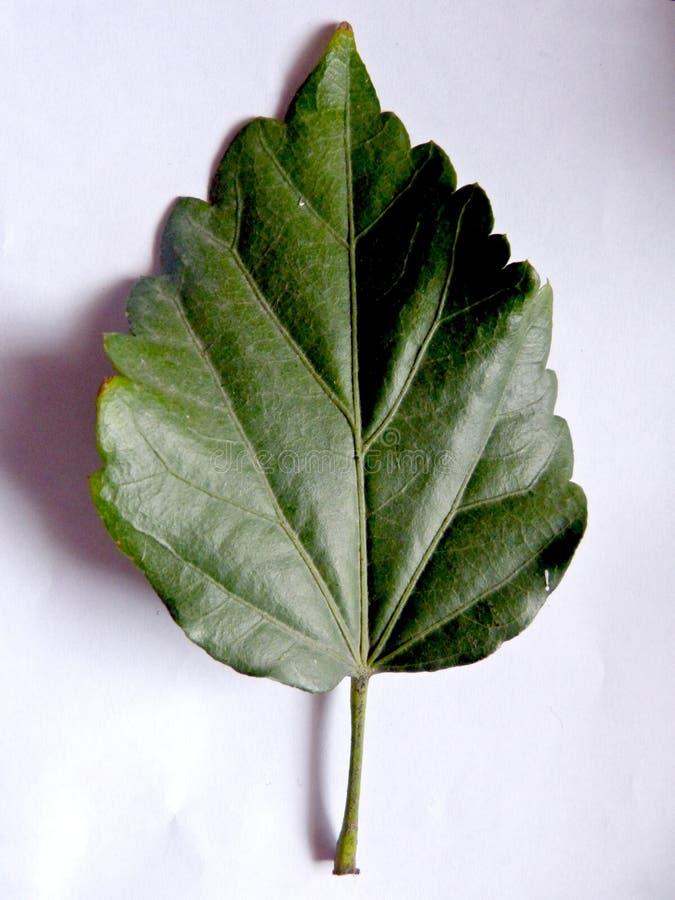 Grünes Blatt von Cayennepfeffer lizenzfreie stockfotos
