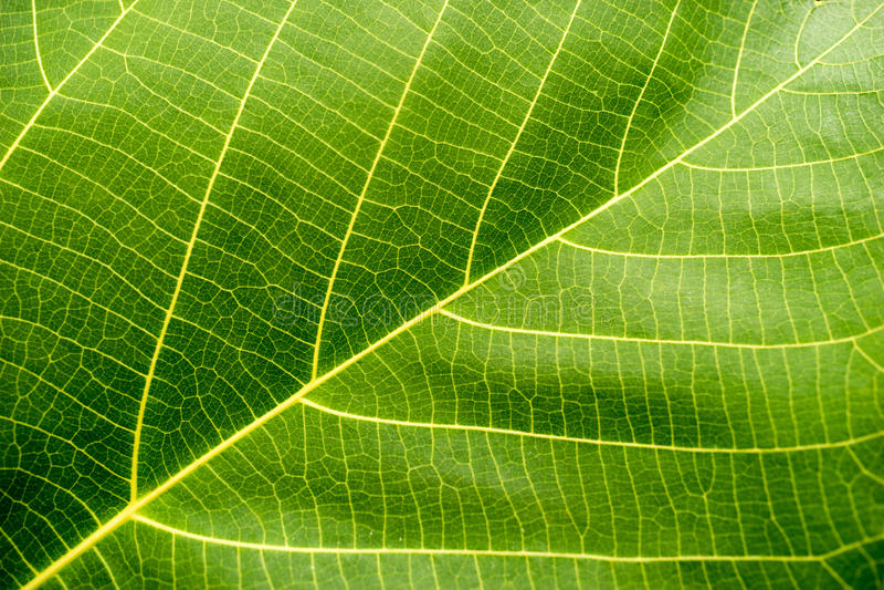 Grünes Blattmakro lizenzfreie stockfotografie