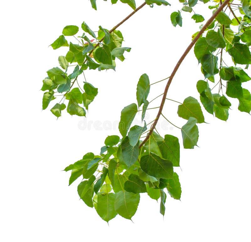 Grünes bodhi Blatt lokalisiert auf weißem Hintergrund Licht durch Sonnenschienbein stockfotos