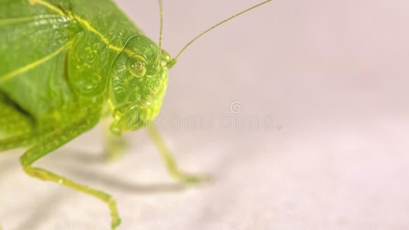 Grünes Buschkricket mit faserige Antennen lizenzfreies stockbild