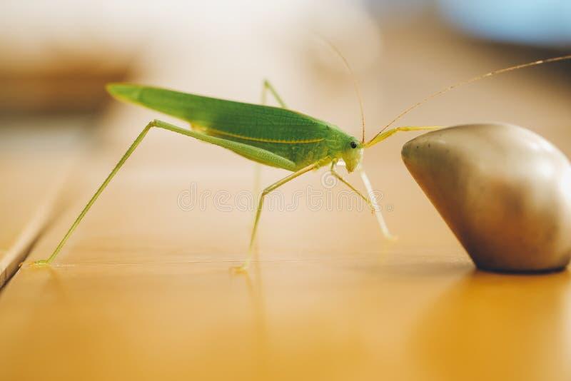 Grünes Buschkricket oder langhörnige Heuschrecke, die auf dem Griff des Faches fangen stockbild