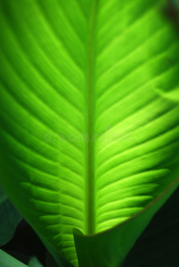 Grünes Canna-Blatt mit Adern (Makro) lizenzfreie stockfotos
