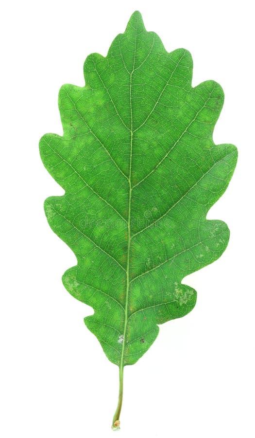 Grünes Eichenblatt auf Weiß stockfoto
