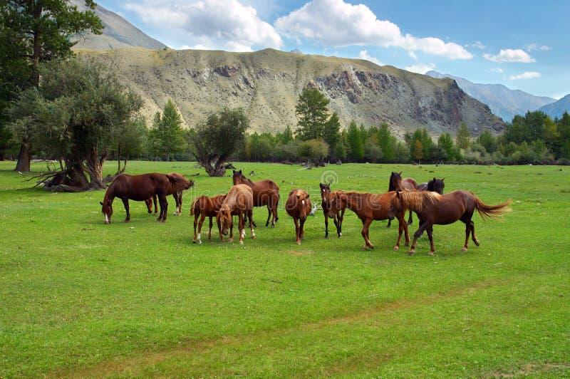 Grünes Feld, Berge und Pferde lizenzfreie stockfotos