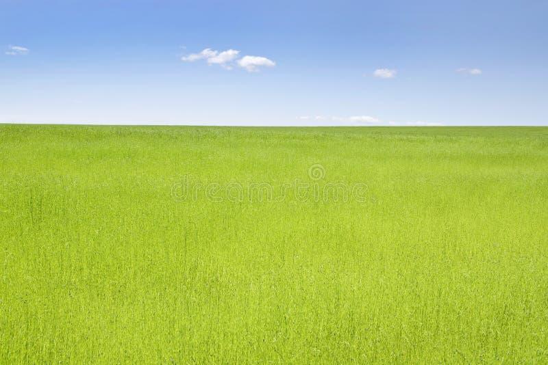 Grünes Feld des Flachses stockbild