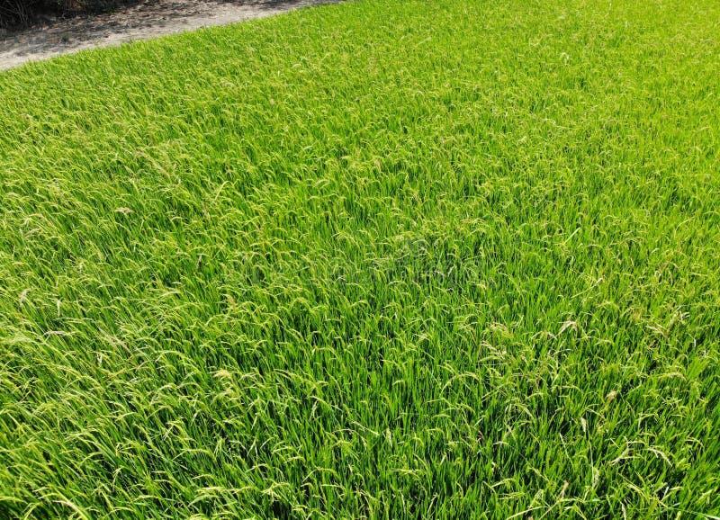 Grünes Feld des Reises mit Windwachstumsanlage an der Draufsicht der Thailand-Landschaftslandwirtschaft durch Brummen stockbild