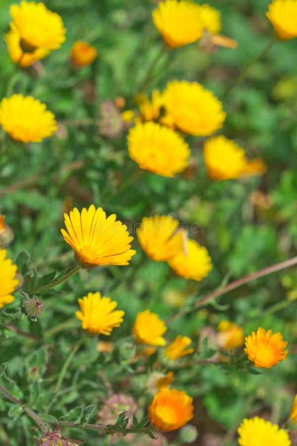 Grünes Feld mit gelben Frühlingsblumen lizenzfreie stockbilder