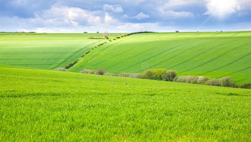 Grünes Feld mit Kaninchen lizenzfreies stockfoto