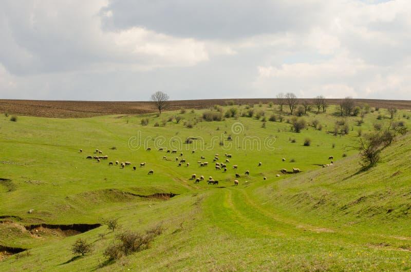 Grünes Feld mit Schafherde lizenzfreie stockbilder
