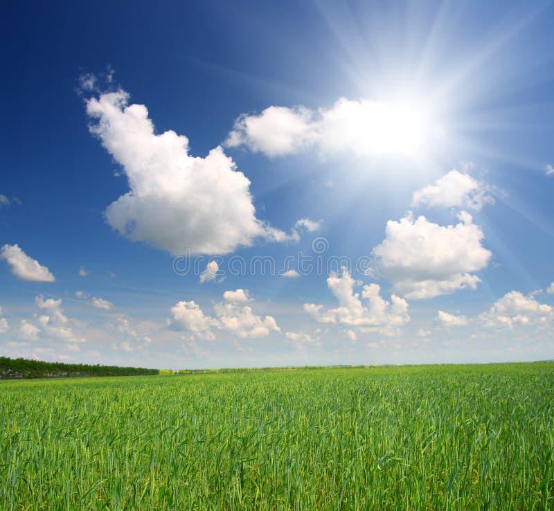 Grünes Feld mit Weizen lizenzfreies stockbild