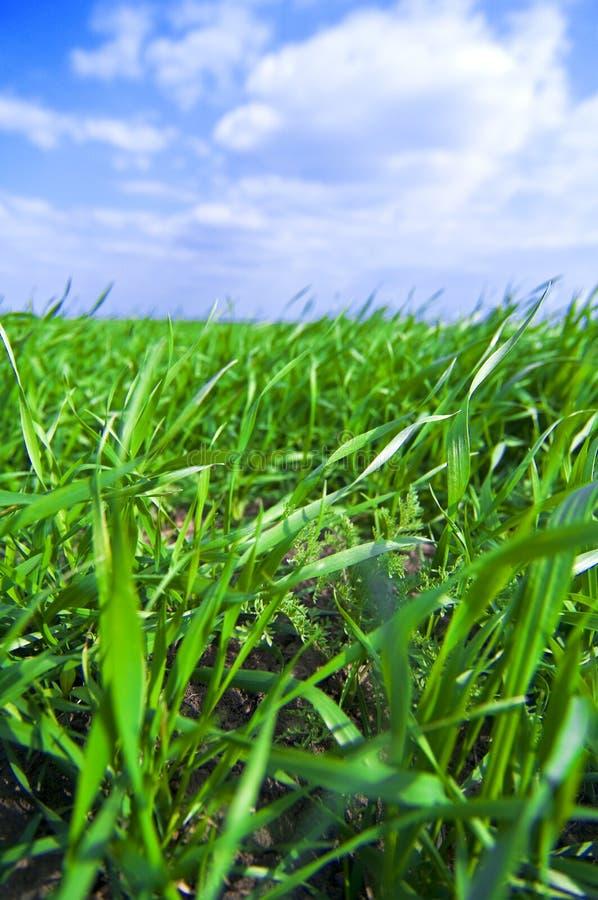 Grünes Feld und blauer Himmel stockfotografie