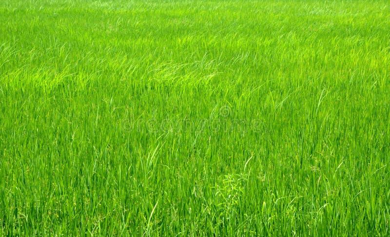 Grünes Feld und Reis stockfoto
