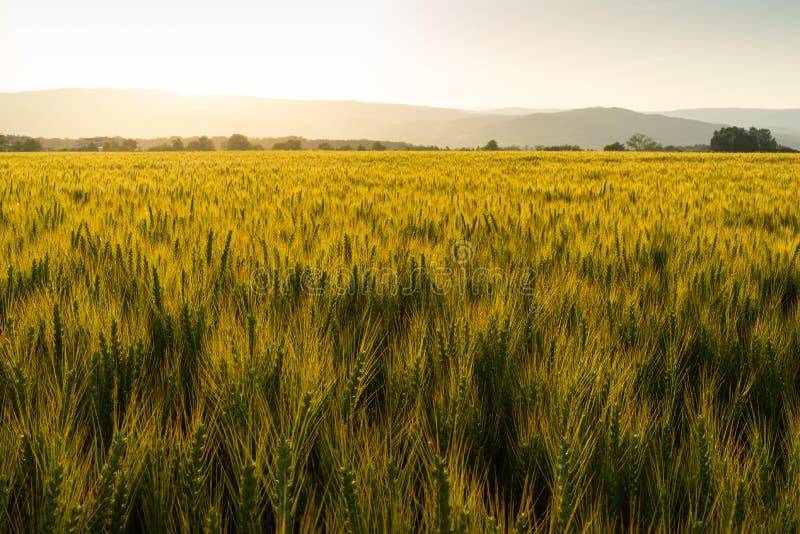 Grünes Feld voll des Weizens während des Sonnenuntergangs lizenzfreies stockbild