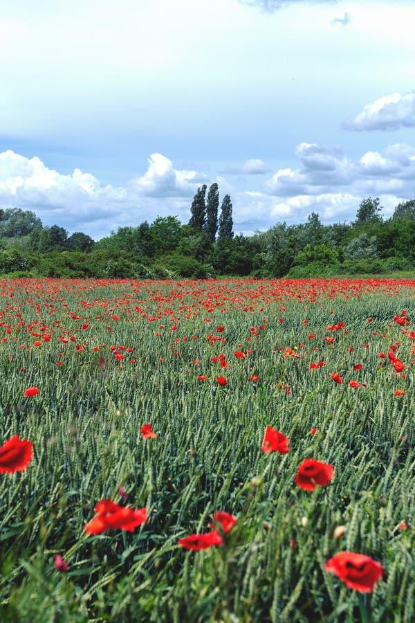 Grünes Feld voll von roten Mohnblumenblumen, mit schönem blauem Himmel lizenzfreie stockfotos