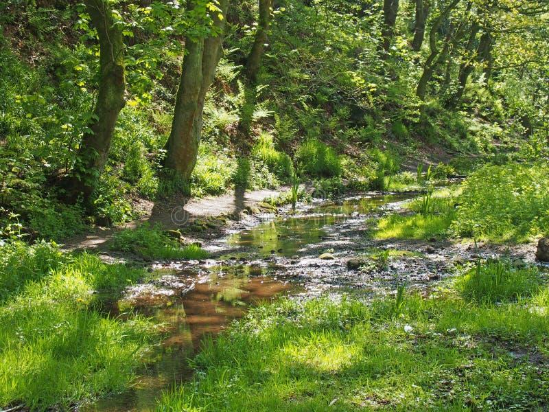 Grünes Frühlingswaldland mit einem Strom, der zwar sumpfiges Gras laufen lässt und hohe Buchenbäume in nutclough Holz nahe hebden lizenzfreie stockbilder
