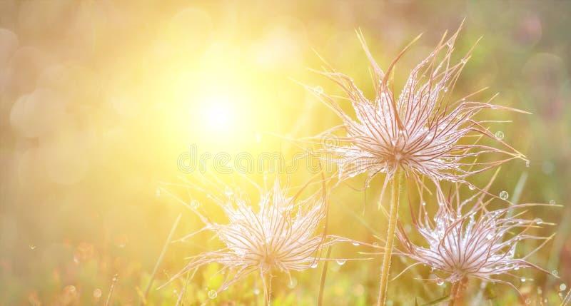 Grünes frisches Naturblumenfeldgras mit Tautropfen morgens Schönes bokeh auf unscharfem Hintergrund Panoramische Ansicht stockbild