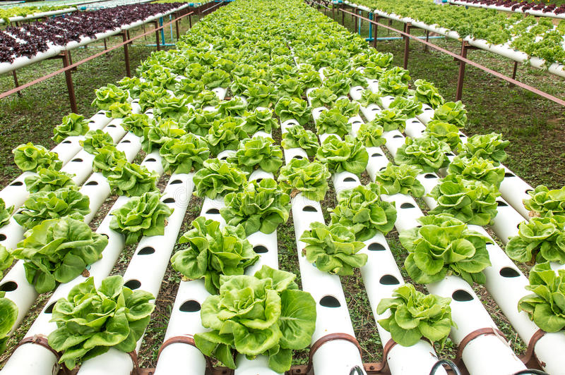 Grünes Gemüse der Hydroponik im kleinen Garten stockfotografie
