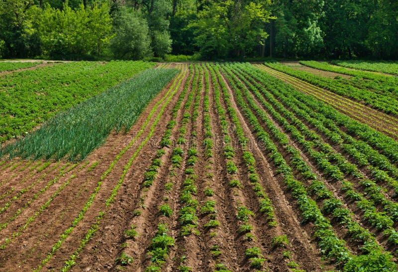 Grünes Gemüsefeld mit einem Wald im Hintergrund lizenzfreie stockbilder