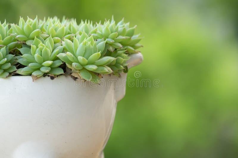 Grünes Graptopetalum Macdougallii, saftiges houspelant stockbilder