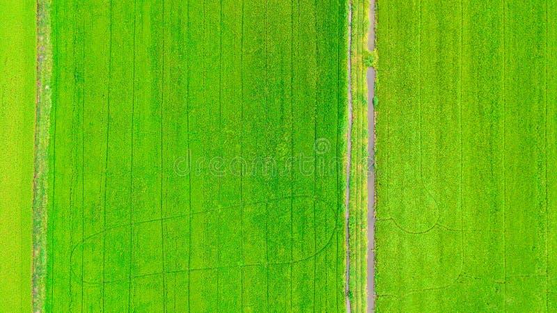 Grünes Gras des Feldes des ungeschälten Reises stockbild