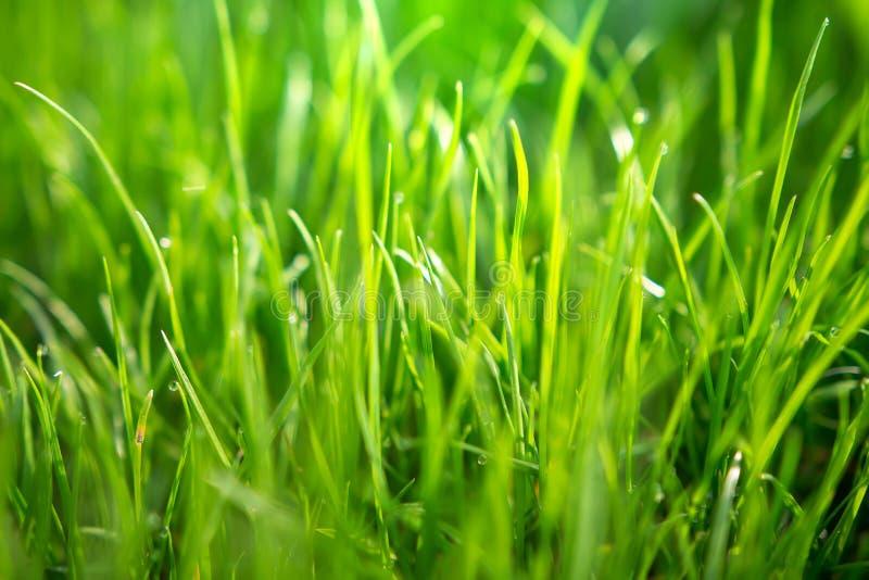 Grünes Gras des Frühlinges mit Tautropfen des Morgensonnenlichts Feld des gr?nen Grases gegen einen blauen Himmel mit wispy wei?e stockfotos