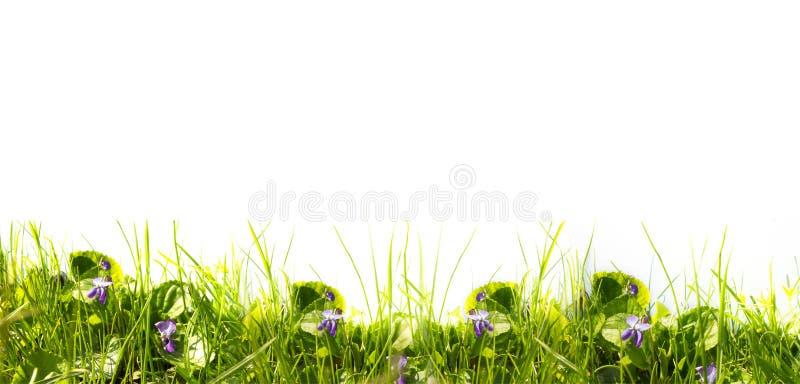 Grünes Gras des Frühlinges und Blumen von Veilchen auf einem weißen Hintergrund stockfotografie