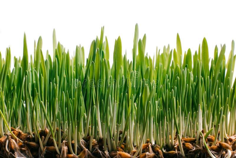 Grünes Gras des neuen Frühlinges und gekeimte Samen lizenzfreie stockfotografie