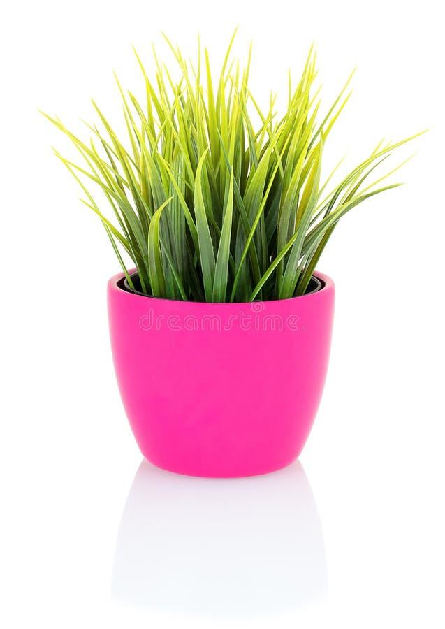 Grünes Gras in einem rosa Topf lokalisiert auf weißem Hintergrund mit Schattenreflexion Grünes Gras im Blumentopf hergestellt vom lizenzfreies stockbild