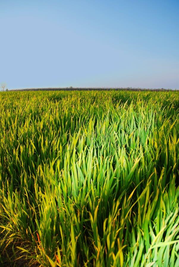 Grünes Gras, frisches Gras lizenzfreies stockbild