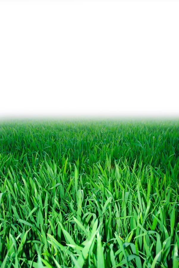 Grünes Gras, Hintergrund lizenzfreies stockbild